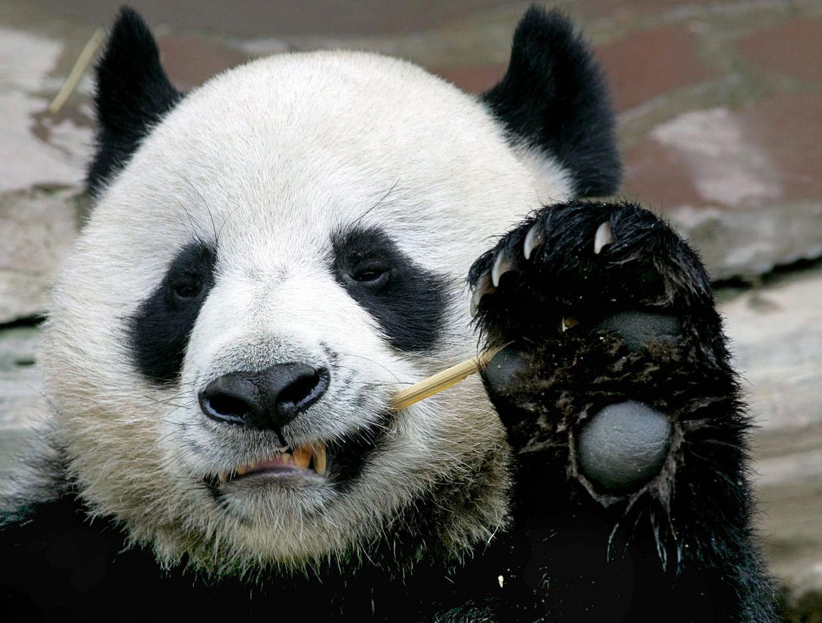 Thailand's beloved sex-shy giant panda dies aged 19