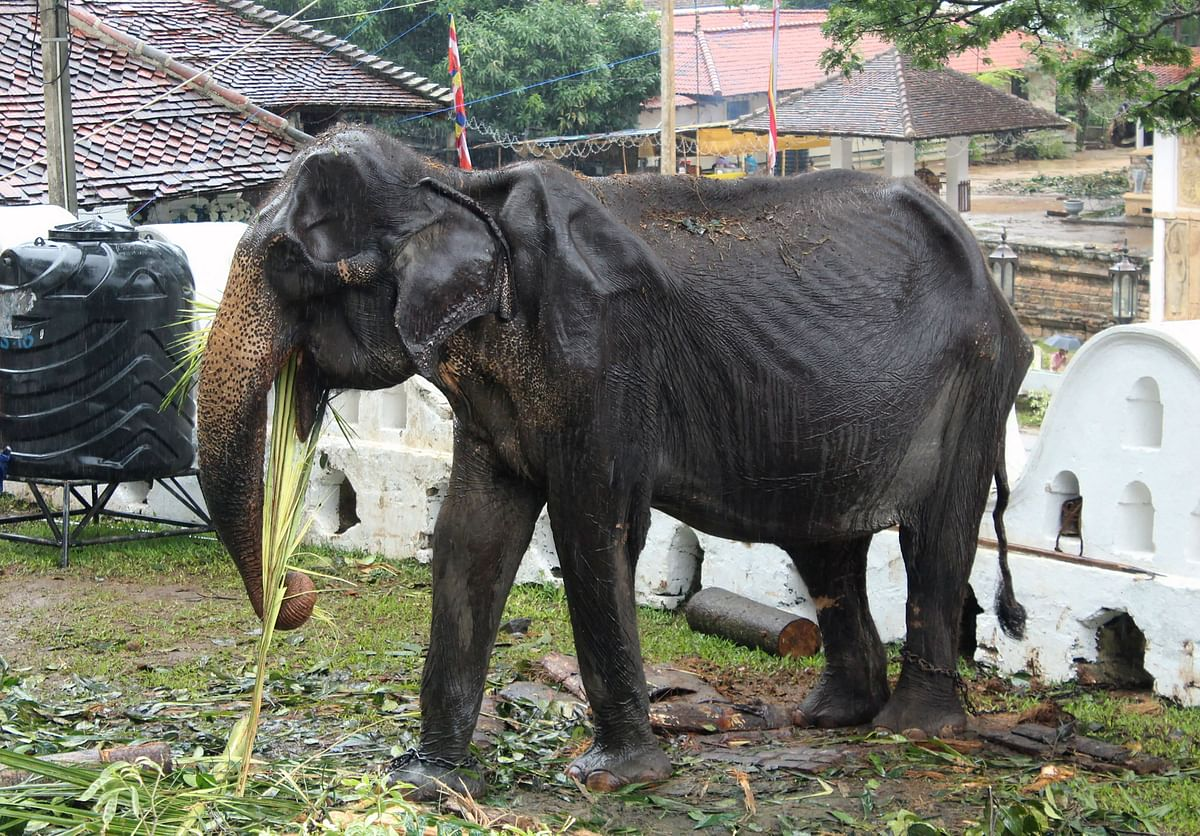 70-year-old emaciated elephant named Tikiri eating at the Temple of the Tooth in the central city of Kandy, where she was brought to march in an annual Buddhust pageant. - A 70-year-old Sri Lankan elephant named Tikiri