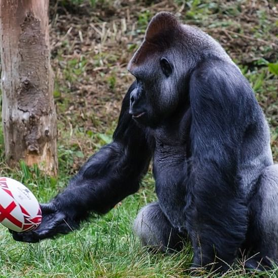 Pictures of gorilla practicing rugby ahead of Rugby World Cup goes viral