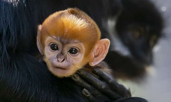 'Incredibly rare' monkey born at Australian zoo