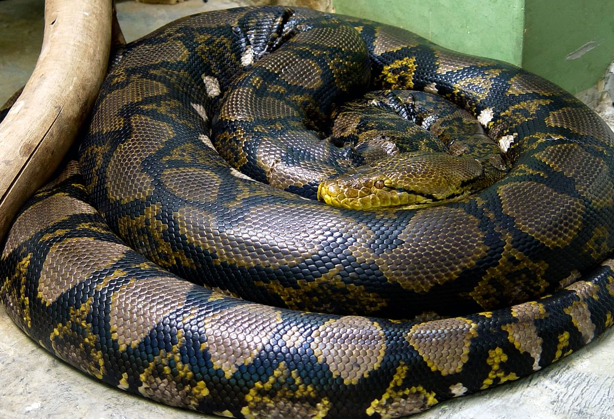 Indore: City zoo to get python pair