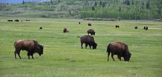 Girl attacked by Bison while on date with her boyfriend