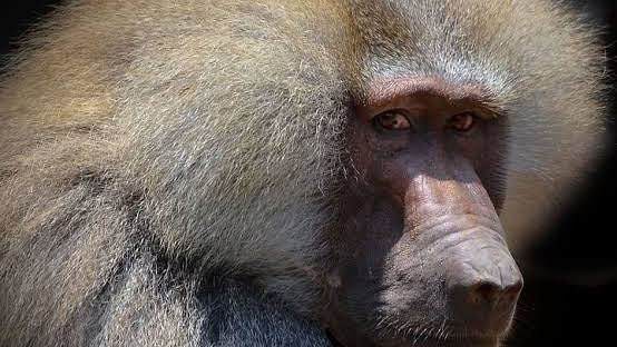 Indore: City zoo to receive baboon in exchange