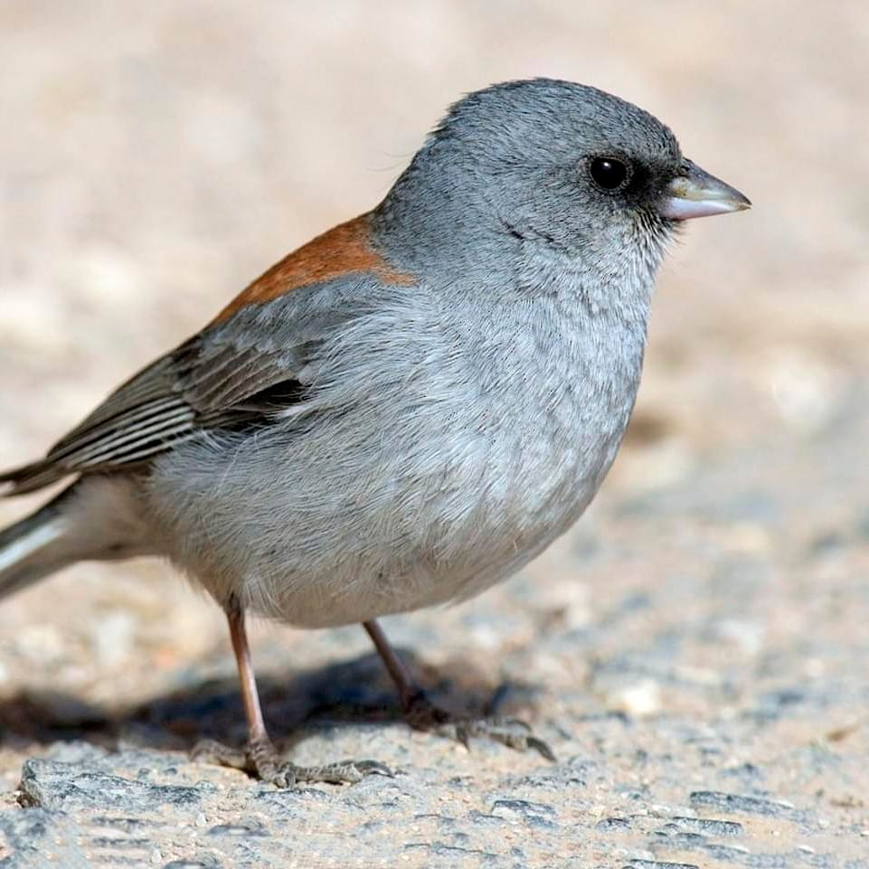 Birds depend on bacteria for mating: Study