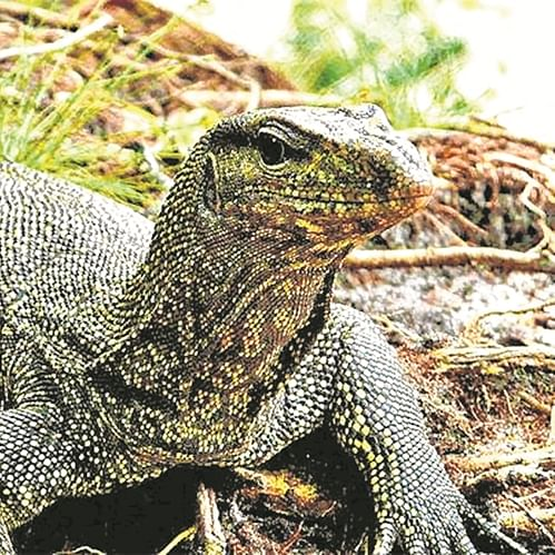 Mumbai: Man nabbed for killing Indian monitor lizard