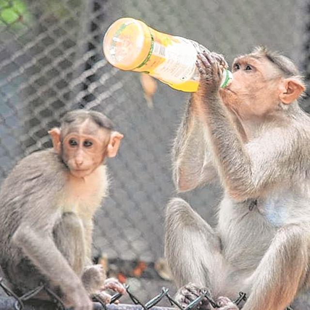 Monkeys gorging on junk food serious issue: Hema Malini tells Parliament