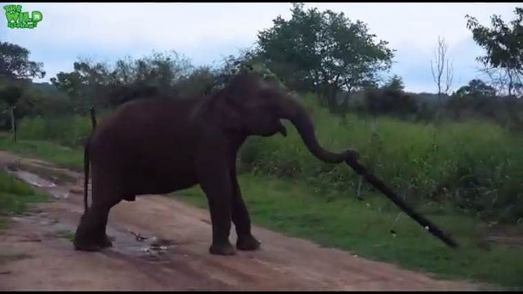 Don't mess with the big guy: Elephant casually tosses aside  electric pole, earns praise online