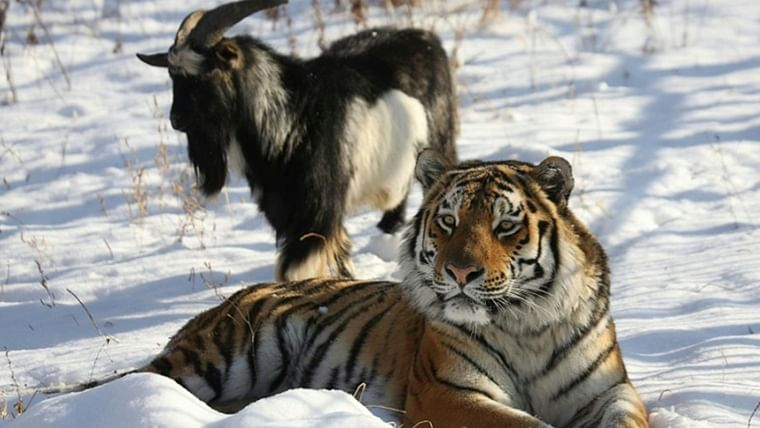 The internet is mourning the demise of Timur, a Russian goat that befriended a tiger
