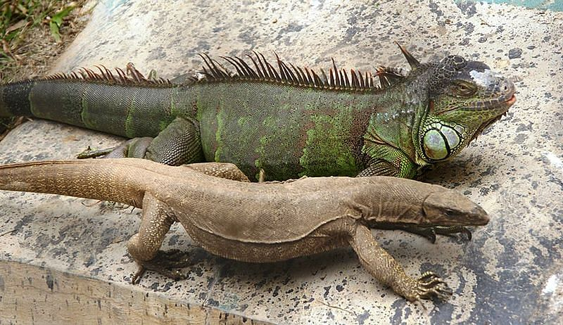 Indore zoo plans to breed Iguana & Monitor lizards naturally