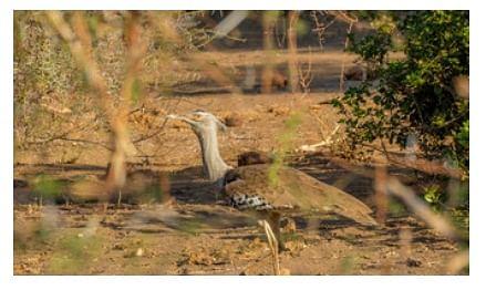 Pakistan permits royals to hunt endangered birds