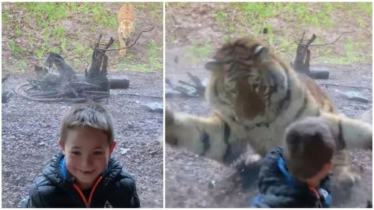 Watch: Tiger pounces on 7-year-old boy in Ireland; video goes viral