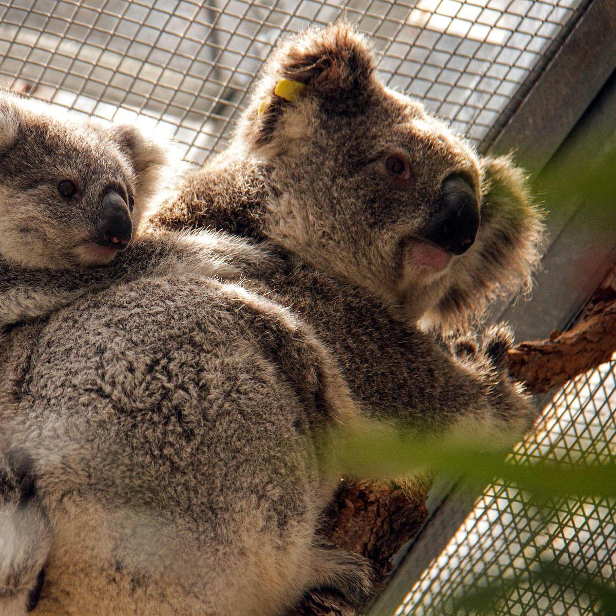 Koalas rescued from path of raging bushfire
