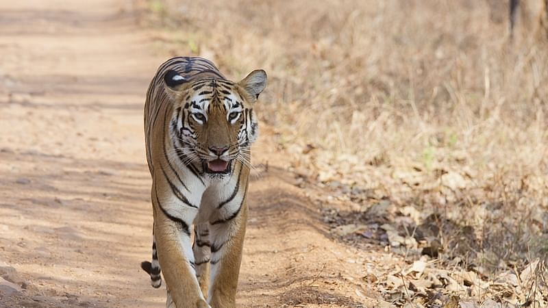 Forest dept identifying tiger corridors in Indore circle