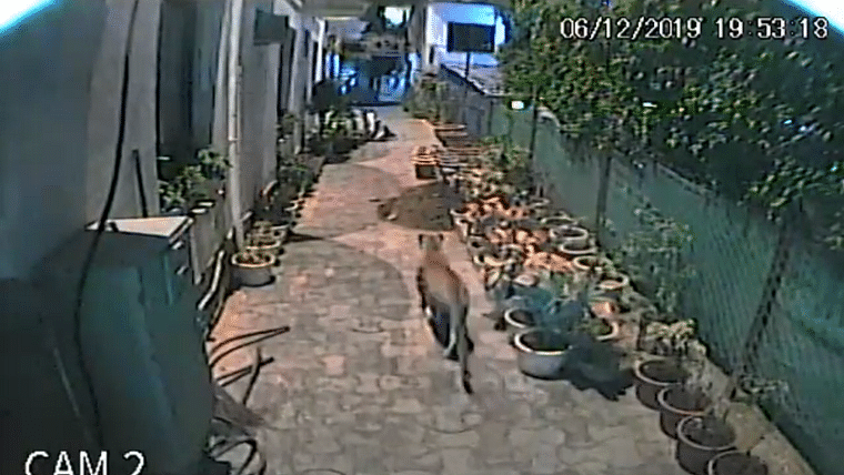 Watch: Panther strolls through hotel corridor minutes after staff was moving out in Mt Abu