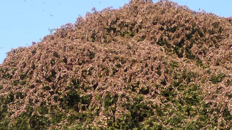 Rajasthan spat as locusts from Pakistan eat up Rabi crops