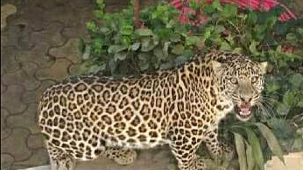 Mumbai: Leopard caught in Seepz, released in Sanjay Gandhi National Park