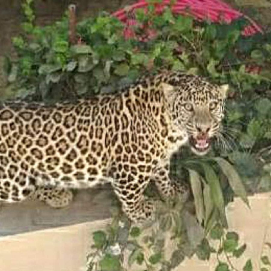 Mumbai: Leopard caught in Seepz, released in Sanjay Gandhi National Park