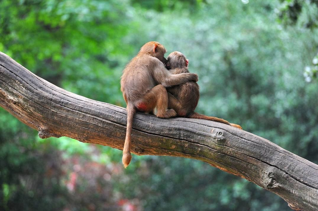 Friends with benefits: Friendships improve survival chances of rhesus macaques