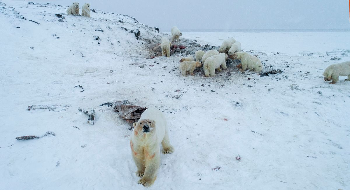 More than 50 polar bears have gathered on the edge of a village in Russia's far north, environmentalists and residents said, as weak coastal ice leaves them unable to roam.