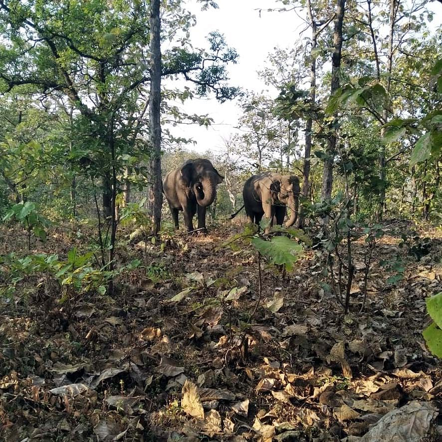 Injured tigress untraceable, search op intensified in Samardha, Virpur and Bhopal range