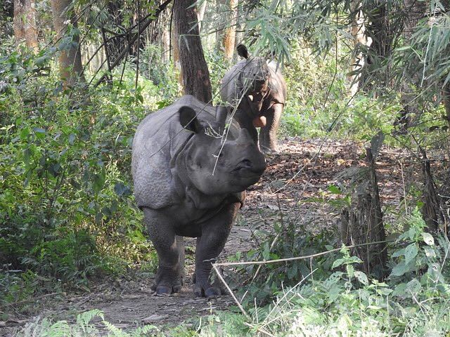 Nepal: 10 one-horned rhinos dead in last six months