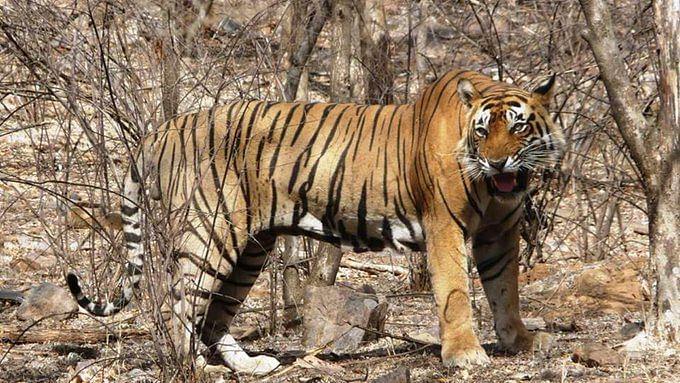 Maharashtra: Tiger kills woman in Gadchiroli, 5th case in fortnight