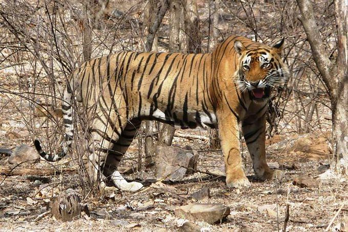 Ranthambore Tiger Park: T25 AKA Zalim, the loving adopter of orphans, passes away