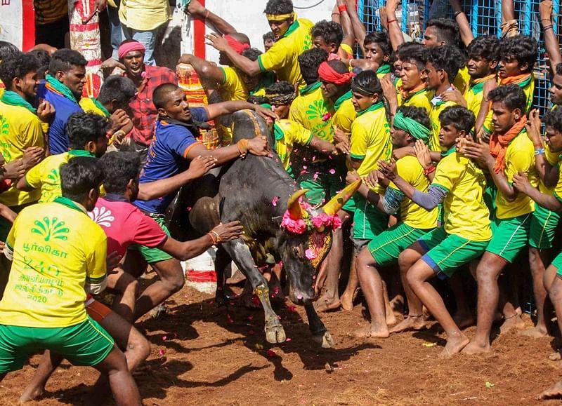 Tamil Nadu: 700 bulls participate in Jallikattu competition in Madurai's Palamedu