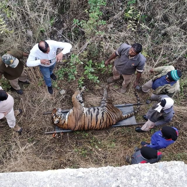 Tiger kills tigress in Udaipur bio park as visitors watch