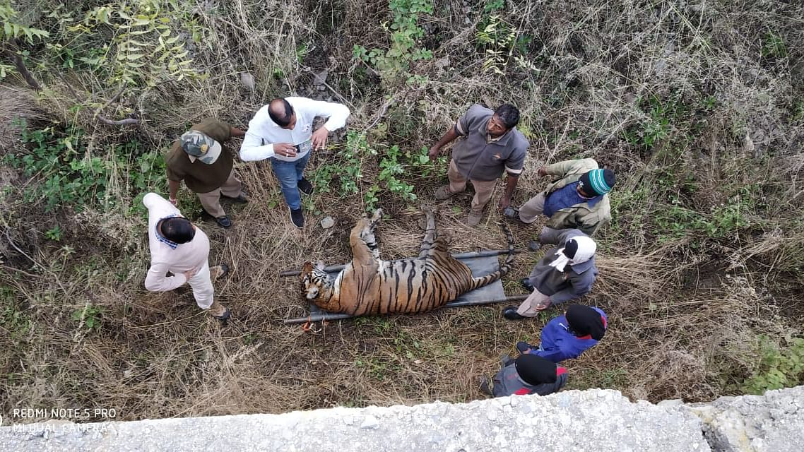 Tiger kills tigress in Udaipur bio park as visitors watch