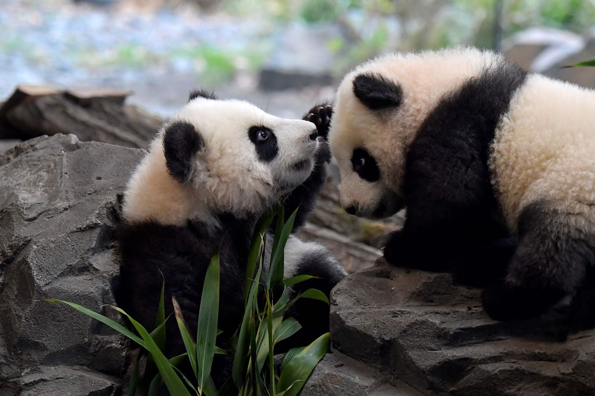 Berlin zoo prepares cuddly panda cubs for their big day out