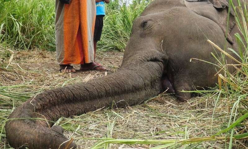 361 elephants dead in Sri Lanka in 2019