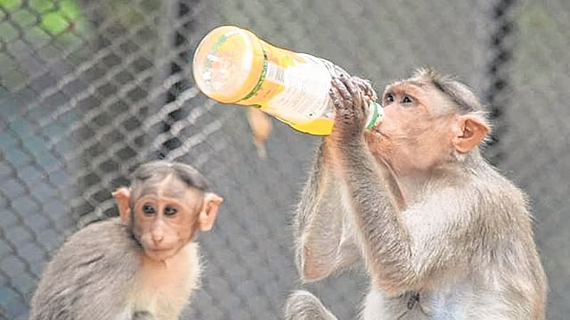 Mirzapur: 'Darubaaz' monkey kills one, leaves 250 injured in search for booze