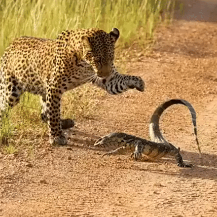 Animal Fight Club: Leopard takes on monitor lizard in epic battle; video goes viral