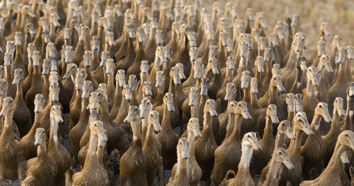 China's 'duck army' to fight Pakistan's locusts
