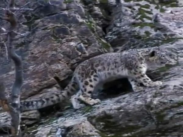Two snow leopards captured on camera in Uttarakhand's Nanda Devi National Park