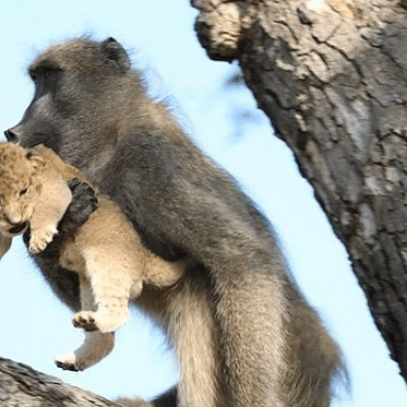 Baboon recreates Simba's iconic scene from 'The Lion King' after adopting cub