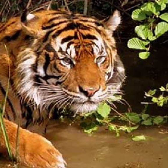India's 2018 Tiger census crawls into Guinness Book Of World Records