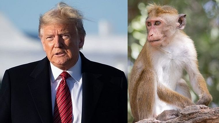 Monkey business: Simians could spoil Donald Trump's upcoming Taj Mahal visit