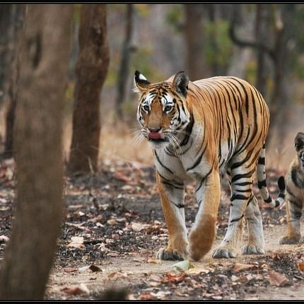 International Tiger Day 2020: MP tiger foundation organises online quiz; Here's all you need to know