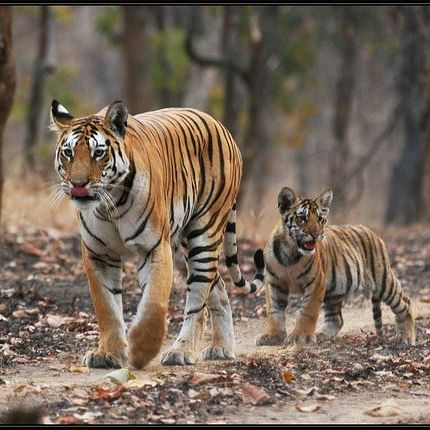 Madhya Pradesh: Two tigresses give birth to 5 cubs in Panna Tiger Reserve