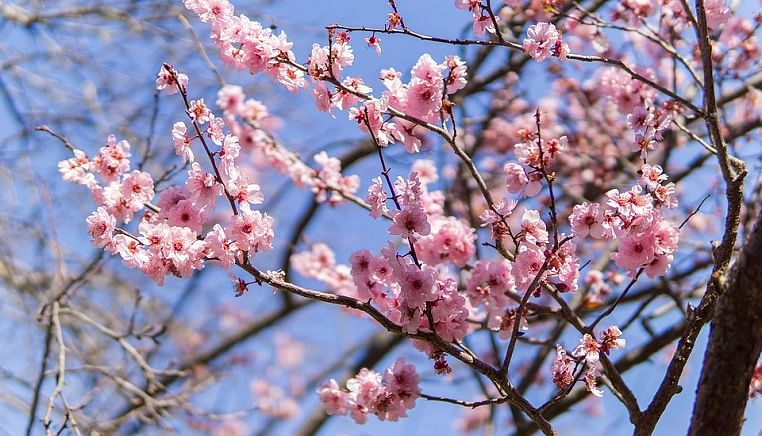 Coronavirus doesn't stop Japanese people to enjoy their annual tradition of admiring cherry blossoms