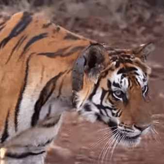 Emerald Forest – An EPIC Original celebrates the return of Tigers in Panna National Park