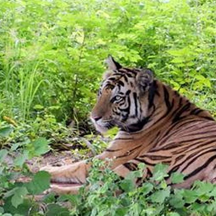 Madhya Pradesh: Tigress 'Sundari' awaits her return home to Kanha from Odisha