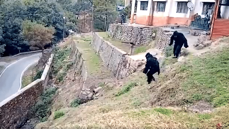 Monkey business: Police officials at Uttarakhand ITBP Camp dress up as bears to scare away primates