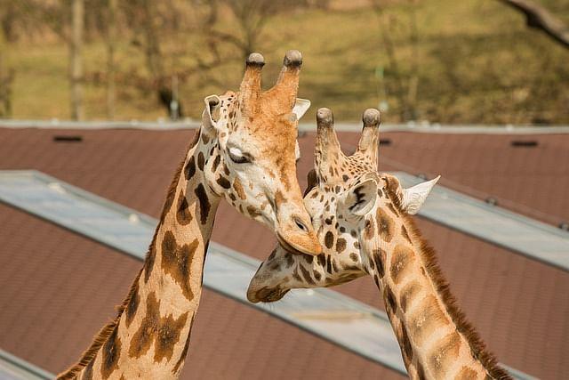 Bengaluru zoo's giraffes enjoying their mating season amid coronavirus lockdown