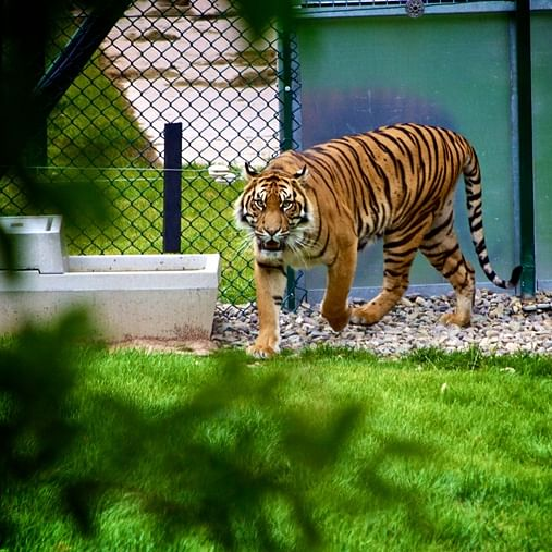 Zoos across India put on high alert after tiger at New York's Bronx Zoo tests positive for coronavirus