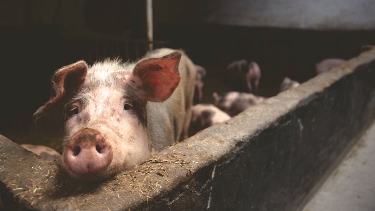 Meghalaya bans import of pigs after unusual deaths in Assam, Arunachal