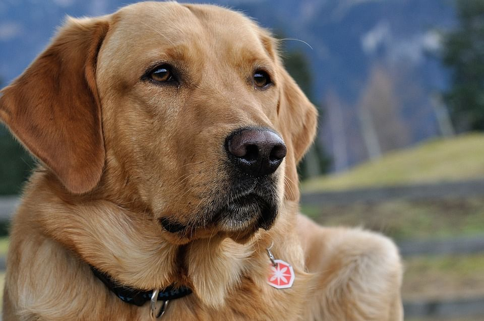 Dogs may soon be able to sniff out corona in humans, believe experts