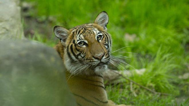 Coronavirus Update: Tiger at New York's Bronx Zoo tests positive
